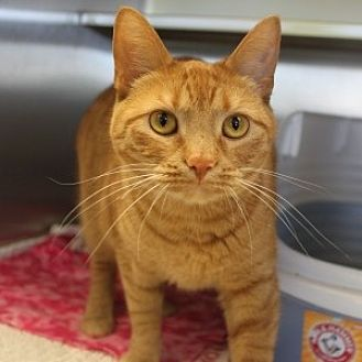 Domestic Shorthair Cat for adoption in Naperville, Illinois - Erie