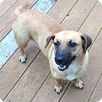 Adopt A Pet :: Ginger - Rockville, MD