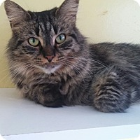 Maine Coon Cat for adoption in Port Clinton, Ohio - Miss Kitty