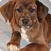 Adopt A Pet :: Female hound mix pups - Albemarle, NC