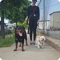 Adopt A Pet :: Maya - Brooklyn, NY