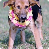 Adopt A Pet :: Nubbie in CT - Manchester, CT