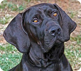 Great Dane/Mastiff Mix Dog for adoption in Scottsdale, Arizona - Boomer