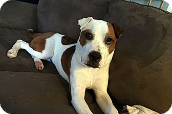 Boxer/Pit Bull Terrier Mix Dog for adoption in Durham, North Carolina - Rigby