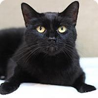 Adopt A Pet :: Cuddles - Midland, MI