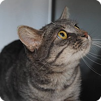 Domestic Shorthair Cat for adoption in Windsor, Virginia - Moon