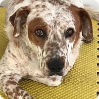 Adopt A Pet :: Copper (DENVER) - Fort Collins, CO