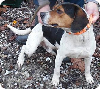 Beagle Dog for adoption in Chino Hills, California - Grady - Claremont