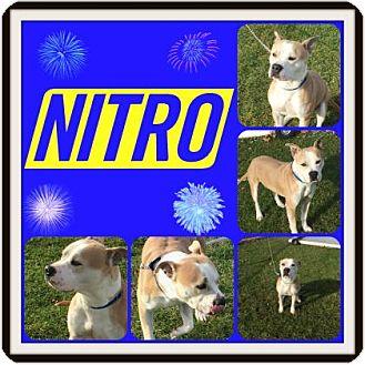 Pit Bull Terrier Mix Dog for adoption in Joliet, Illinois - Nitro
