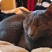Adopt A Pet :: Stormy - Mt. Prospect, IL