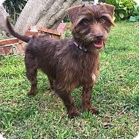Adopt A Pet :: CHOCOLATE - Poway, CA