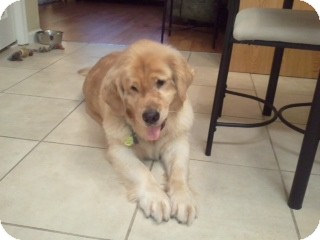 Golden Retriever Dog for adoption in Foster, Rhode Island - Sami