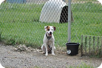 Pit Bull Terrier/Boxer Mix Dog for adoption in New Cumberland, West Virginia - Ruger