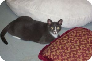 Domestic Shorthair Cat for adoption in Secaucus, New Jersey - Patty