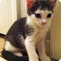 Adopt A Pet :: Little Miss - Gilbert, AZ
