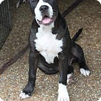 Adopt A Pet :: Shelby - Pompano Beach, FL