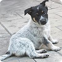 Adopt A Pet :: Gypsy - La Habra Heights, CA
