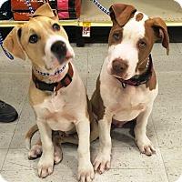 Adopt A Pet :: Bandit - Rancho Cucamonga, CA
