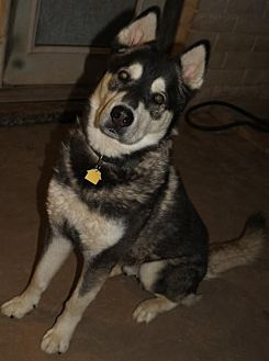 Alaskan Malamute/Siberian Husky Mix Dog for adoption in Tempe, Arizona - MAC PIF HUSKY RESCUE COURTESY POST