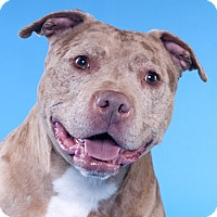 Adopt A Pet :: Mr Bojangles - Chicago, IL