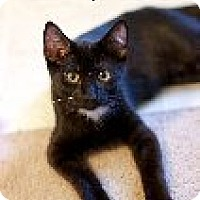 Domestic Shorthair Cat for adoption in Franklin, Tennessee - Bellamy
