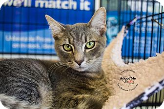 Domestic Shorthair Kitten for adoption in Mooresville, North Carolina - A..  Greyson
