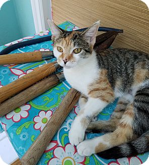 Calico Cat for adoption in Toledo, Ohio - Renee