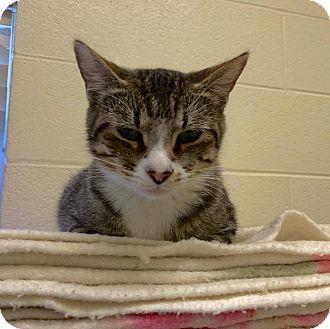 Domestic Shorthair Cat for adoption in Twin Falls, Idaho - Shauny