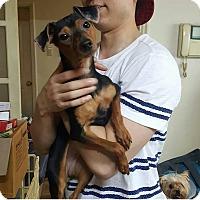 Adopt A Pet :: Athena - Oakton, VA