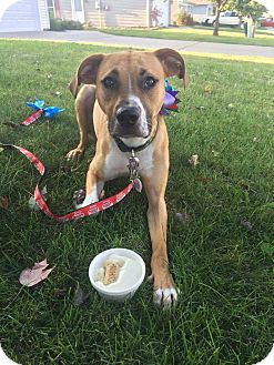 Boxer/Pit Bull Terrier Mix Dog for adoption in Lafayette, Indiana - Bali
