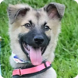 Shepherd (Unknown Type) Mix Puppy for adoption in San Francisco, California - Carlos