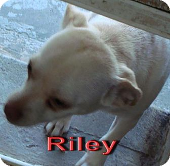 Chihuahua Mix Dog for adoption in Coleman, Texas - Riley