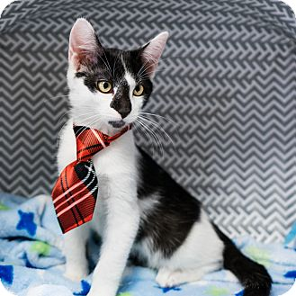Domestic Shorthair Kitten for adoption in Montclair, California - Jackson