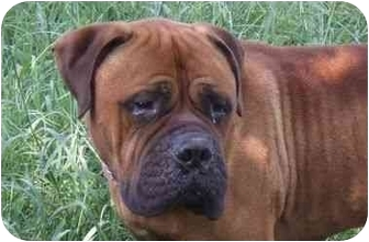 Bullmastiff Dog for adoption in North Port, Florida - Mr Magoo