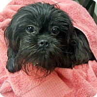 Adopt A Pet :: Bella - ADOPTION PENDING! - Hillsboro, IL