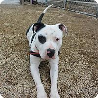 Adopt A Pet :: Blackeye - Meridian, ID