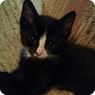 Domestic Shorthair Cat for adoption in Fairbury, Nebraska - Stigman