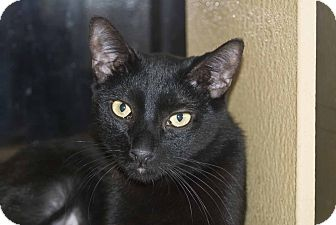 Domestic Shorthair Cat for adoption in New Port Richey, Florida - Raven