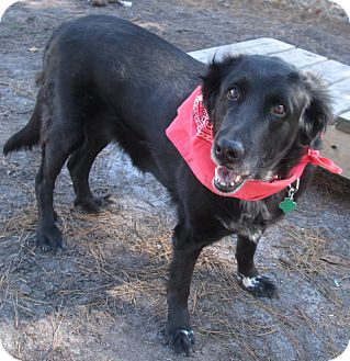Labrador Retriever Mix Dog for adoption in Forked River, New Jersey - Ebony