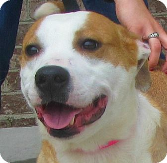 Harrier/Terrier (Unknown Type, Medium) Mix Dog for adoption in Lincolnton, North Carolina - Eva
