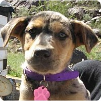Adopt A Pet :: Sasha - Golden Valley, AZ