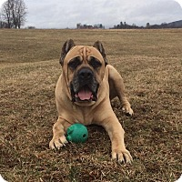 Adopt A Pet :: Remo-NY - Virginia Beach, VA