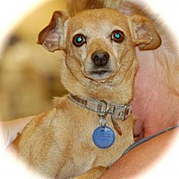 Miniature Pinscher Mix Dog for adoption in Phoenix, Arizona - Jasmine