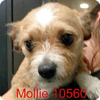 Adopt A Pet :: Mollie - baltimore, MD