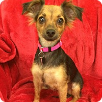 Adopt A Pet :: Honor - Chandler, AZ