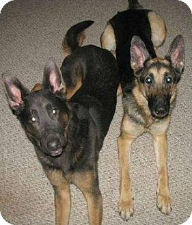 German Shepherd Dog Dog for adoption in Williston, Vermont - Frida