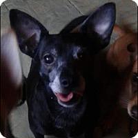 Chihuahua Mix Dog for adoption in Scottsdale, Arizona - Dio