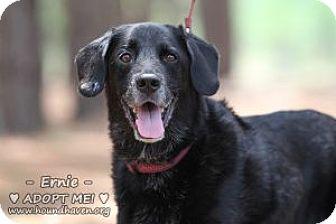 Labrador Retriever Mix Dog for adoption in Minneola, Florida - Ernie