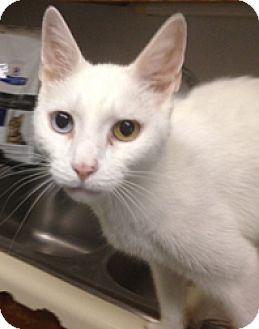 Domestic Shorthair Cat for adoption in Milton, Massachusetts - Riz
