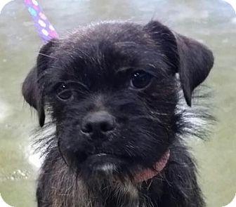 Pug/Terrier (Unknown Type, Medium) Mix Dog for adoption in Fresno, California - Pumpkin